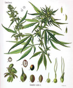 Cannabis-Sativa-L.