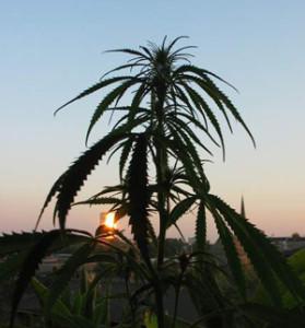 schöne Aussichten: Cannabis- Club