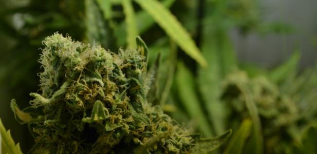 cannabis-critical-bilbo-blüte-grün-bud-depth-tiefe-pflanze-hanf-1