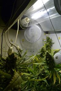 cannabis-critical-bilbo-blüte-grün-bud-depth-tiefe-pflanze-hanf-2