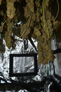 cannabis-critical-bilbo-blüte-grün-bud-depth-tiefe-pflanze-hanf-5