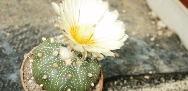 Astrophytum-asterias-kaktee-meskalin-kaktus-blüte-weiss-blume-steingarten