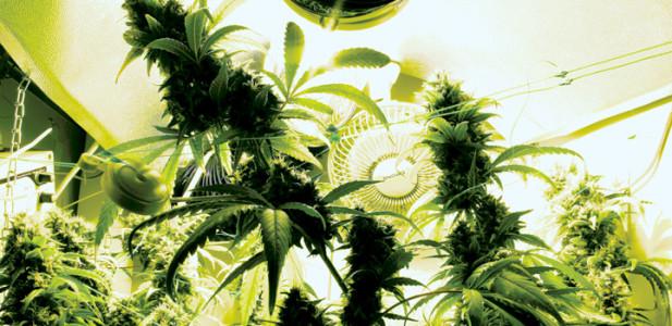 mühe-allein-genügt-nicht-gute-erträge-erfordern-liebe-zum-detail-hanfpflanze-hanf-cannabis-indoor-grün-gegenlicht-ventilator-growbox