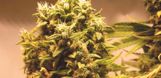 blüte-bud-knospe-kopf-pflanze-hanf-cannabis-brummer-dick-buds
