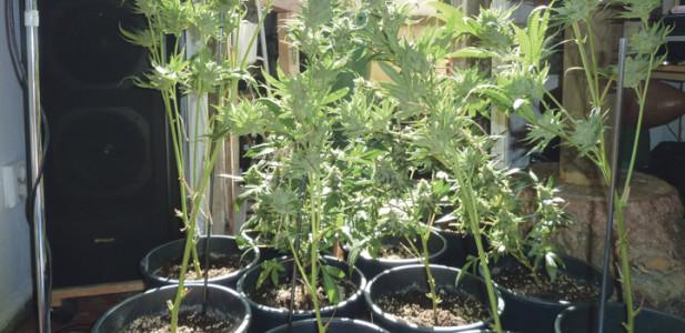 growing-inddor-pflanzen-töpfe-sonne-sonnenschein-lautsprecher-hanf-cannabis