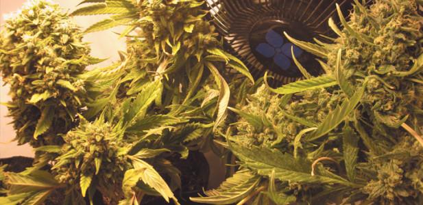growing-indoorr-pflanzen-grün-box-blätter-buddy-gelb-ventilator-buds-knospen
