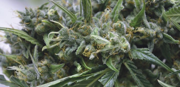 grow1-aus-der-not-geboren-cannabis-hanfpflanze-grün-weiss-close-blüte-blatt