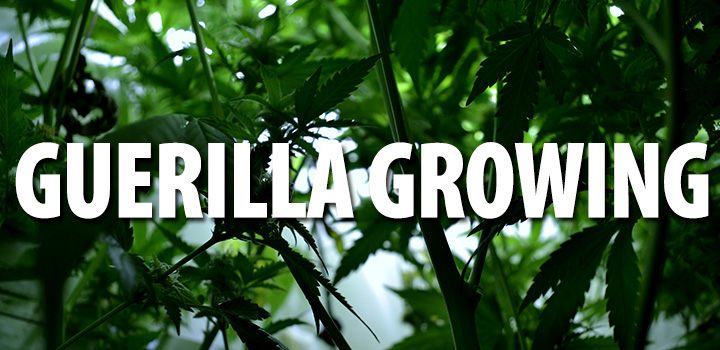 growing-header-title-gestrüpp-pflanzen-grün-hanf-cannabis-grad-dope-guerilla-growing