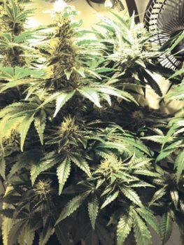 buddy-februar-growing-five-woman-army-pflanze-artikelbild