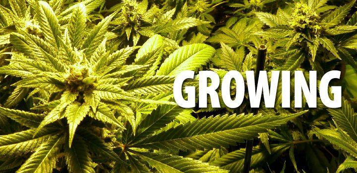 growing1-im-dutzend-chilliger-interview-gespärch-kimo-pflanze-header-grün-geld-blüte-bud