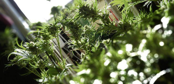 balkonien1-growing-outdoor-pflanzen-balkon-grün-blur-tiefenschärfe-hanf-cannabis