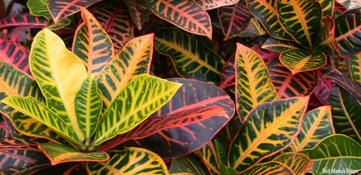 berger-zierpflanzencroton-bunt-blätter