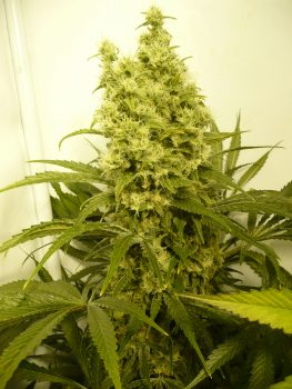 Northern Light x Big Bud x O.G. Kush,