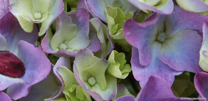 Gartenhortensie-Hortensie-Blüte-Ethnopharmakologie-Psychonautik