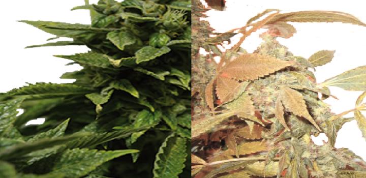 wie-grün-ist-dein-Daumen-test-growertest-growing-Hanf