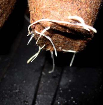 ...schnelle Wurzelbildung bei den jungen Pflanzen