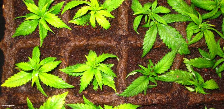 Stecklingszucht-Steckies-Hanf-Pflanzen-Cannabis-Anbau-Zucht-Buddy