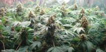 hanf-cannabis-plantage-zucht-grow-pflanzen