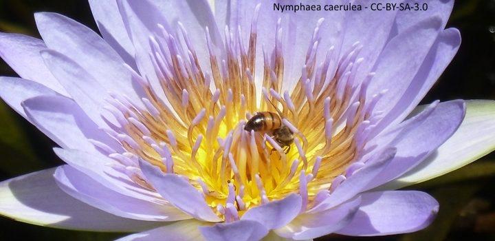 nymphaea-caerulea-jmkcc-by-sa-3-0