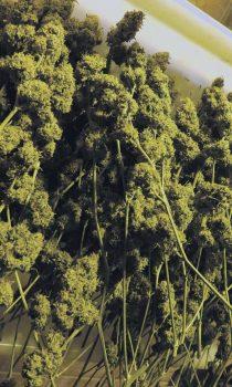 ernte-cannabis-hanf-trocknung
