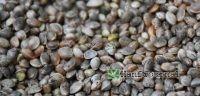hanf-samen-seeds-cannabis
