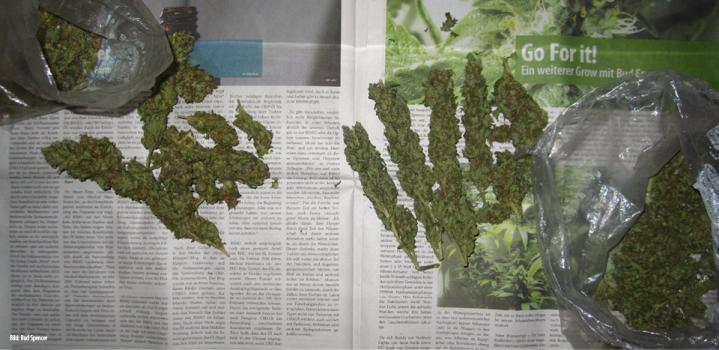 erntedank-bei-bud-spencer-buds-grow-ernte-hanf-blueten